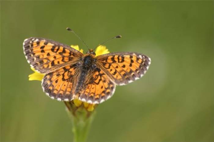 Lesser Spotted Fritillary (Robert Godden)