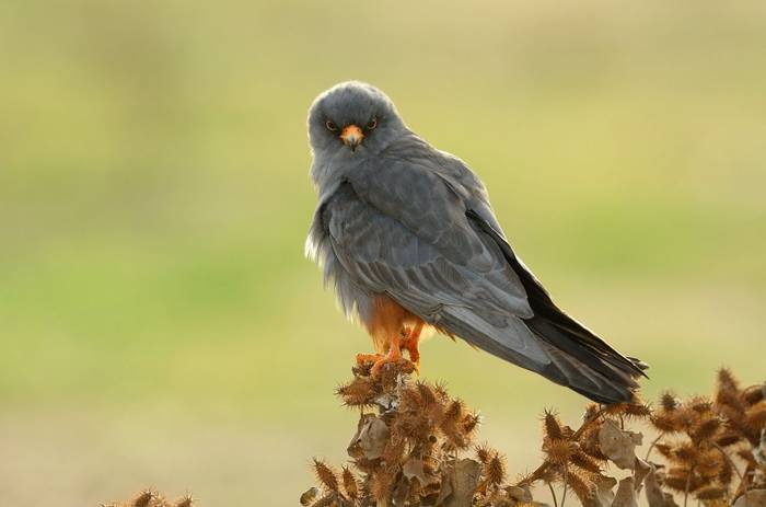 Red Footed Falcon Shutterstock 157046621