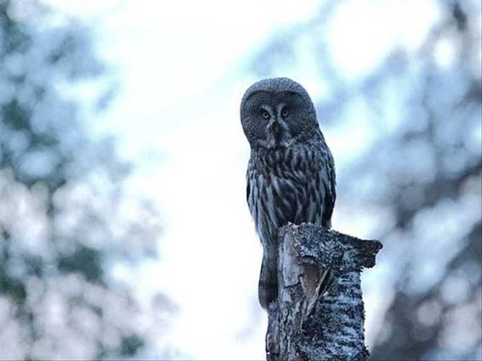 Great Grey Owl (Glyn Sellors)