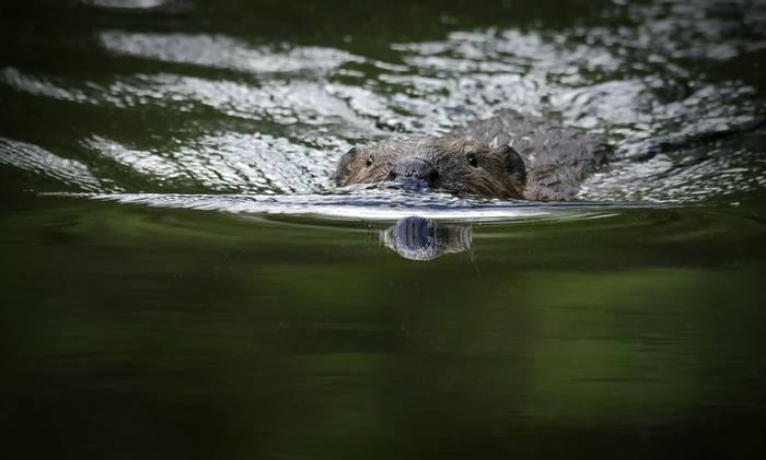Beaver (Jörgen Pettersson)