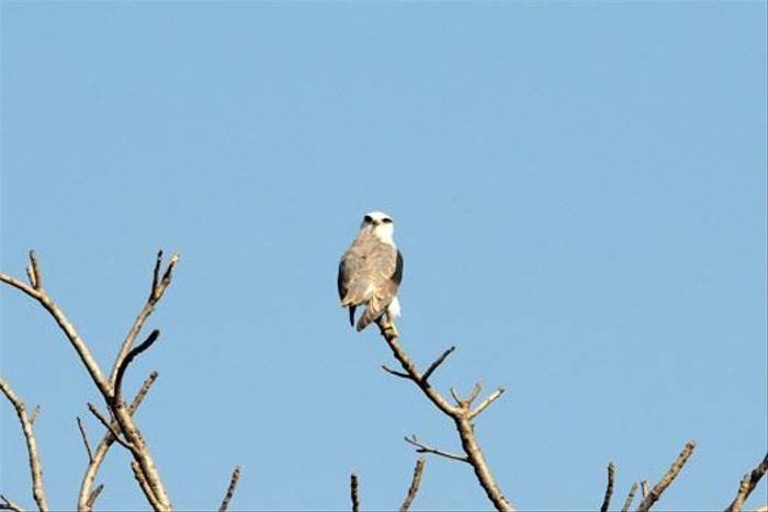 Black-shouldered Kite (Peter Johnson)