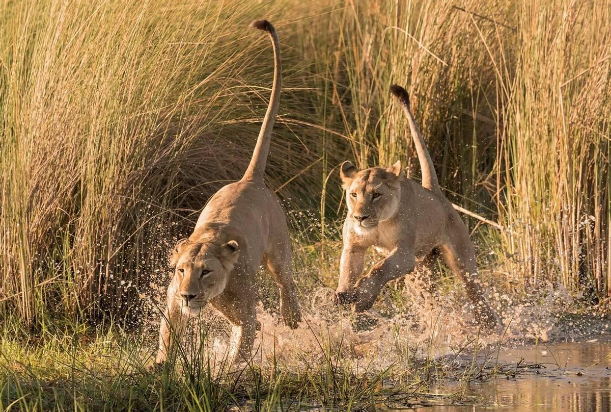 Lions,-Okavango-Delta,-Botswana-shutterstock_1265774032.jpg
