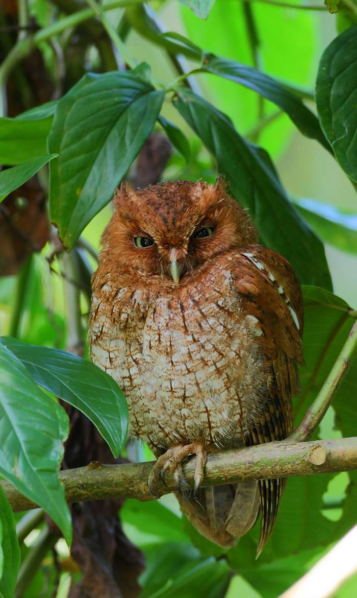 Vermiculated Screech Owl