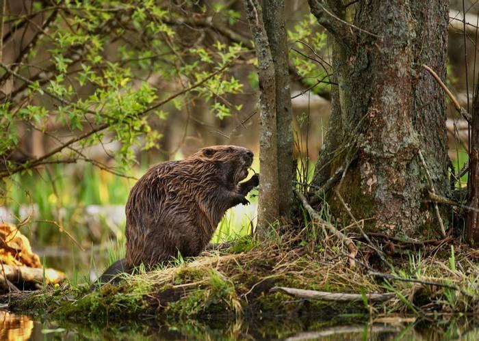Beaver shutterstock_111809165.jpg