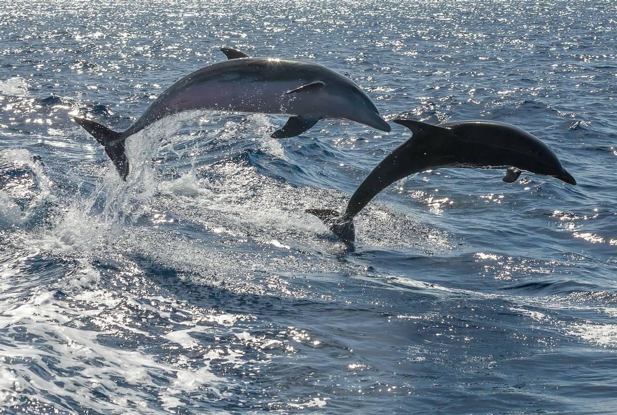 Bottlenose Dolphins shutterstock_231196738.jpg