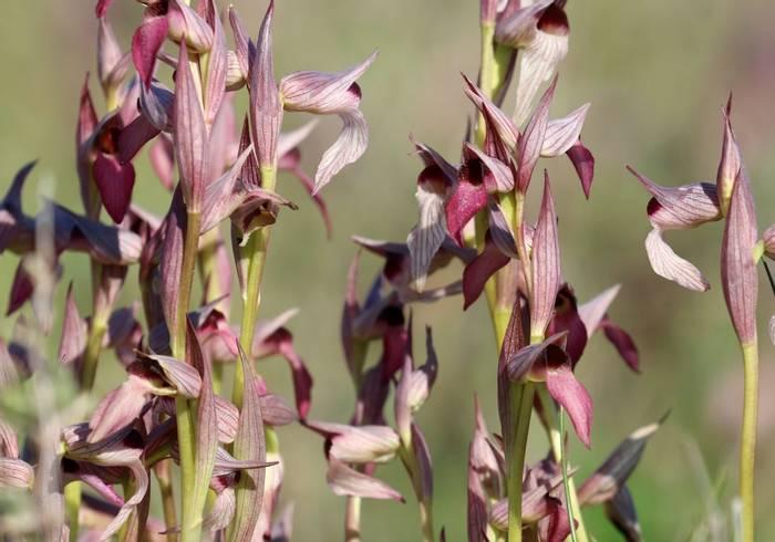 Tongue Orchids (Jim Higham)