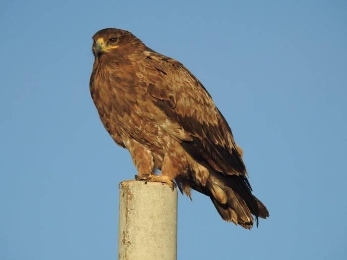 Steppe Eagle (Gerald Broddelez)