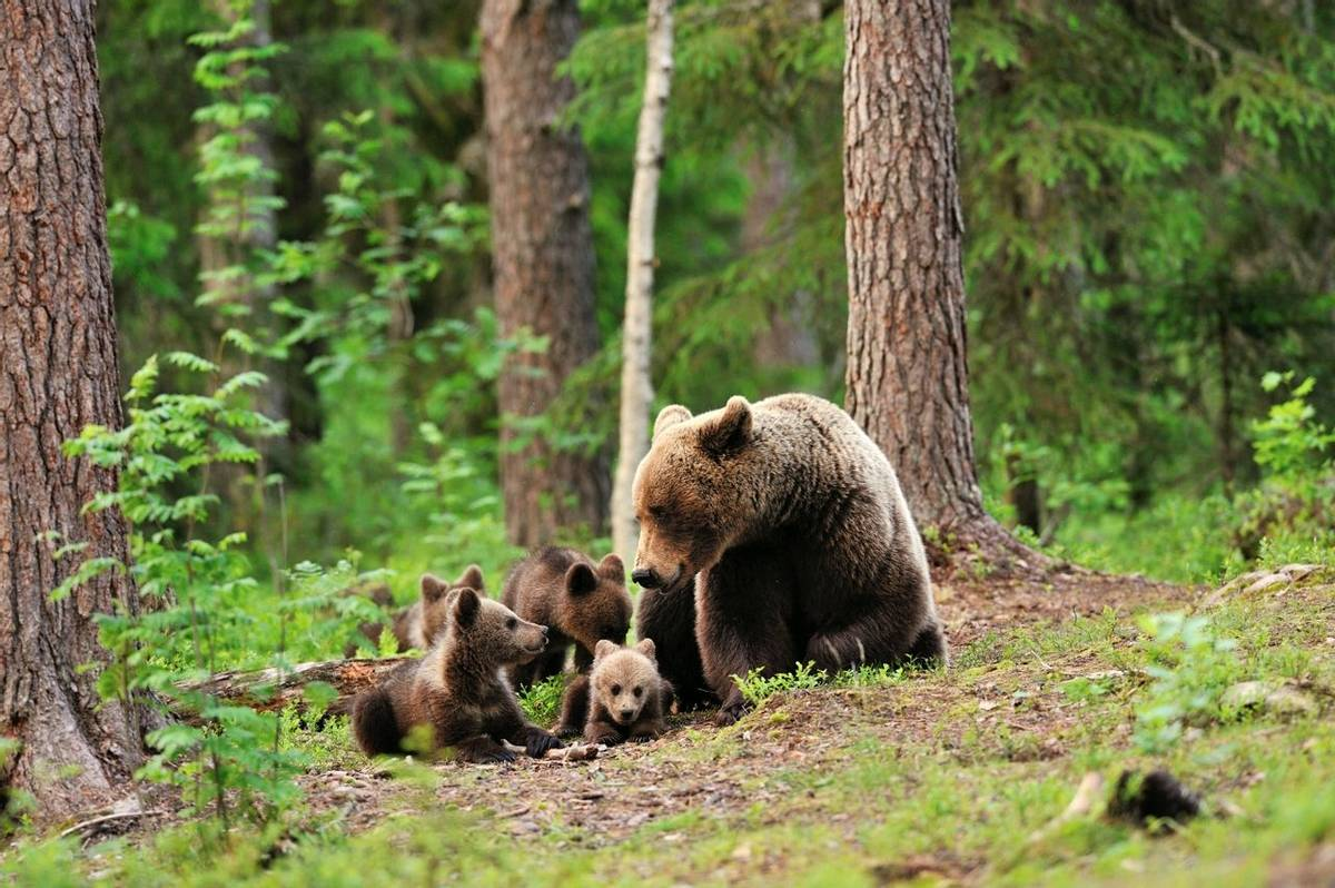 Brown Bears Finland Shutterstock 198189008