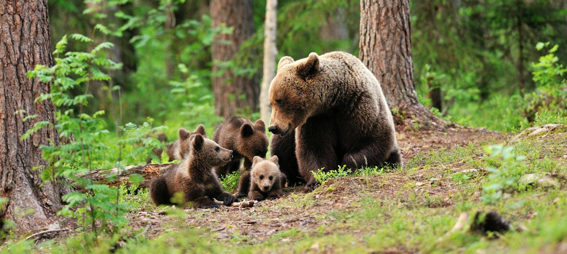 Brown Bears Finland Shutterstock 198189008
