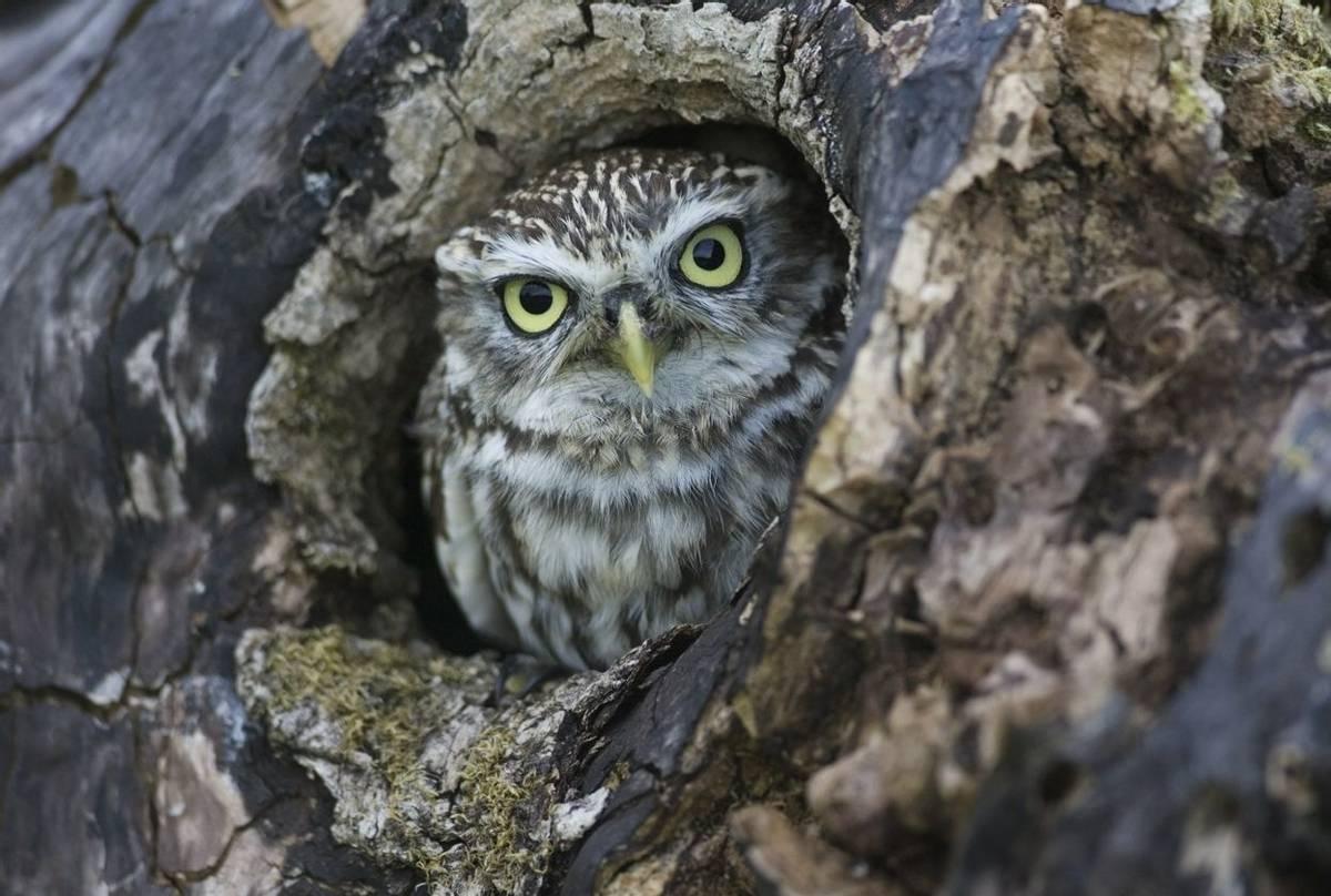 Little Owl, England (Rick Wylie).jpg