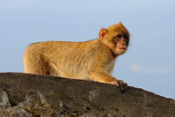 Barbary Macaque (David Morris)