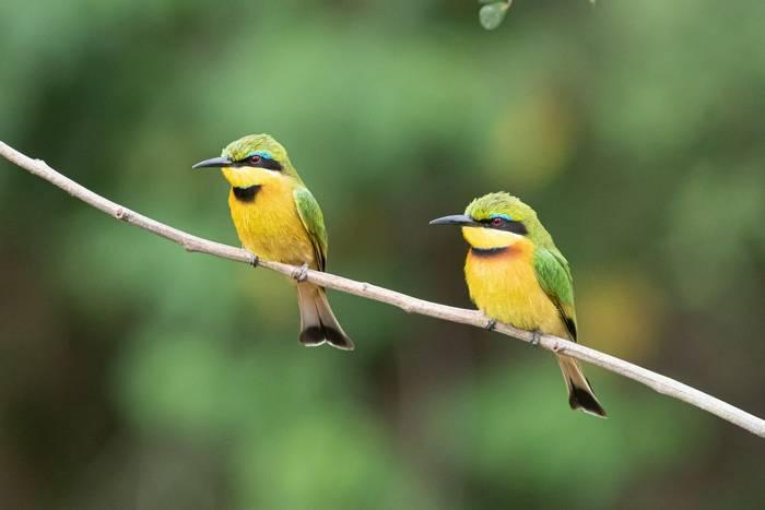 Little Bee-eaters (Iain McFadyen).jpg