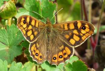 Wall Brown (Russ Hedley)
