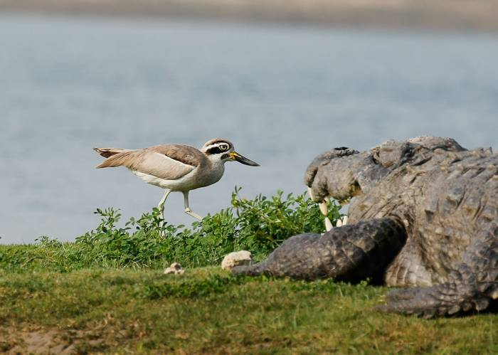 Great Thicknee - Chambal River (Neil Pont)