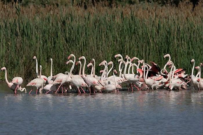 Greater Flamingos (Peter Dunn)