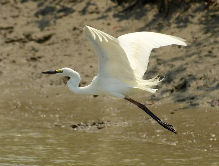 Great Egret (Pradeep Singh, Sunderban Extension)