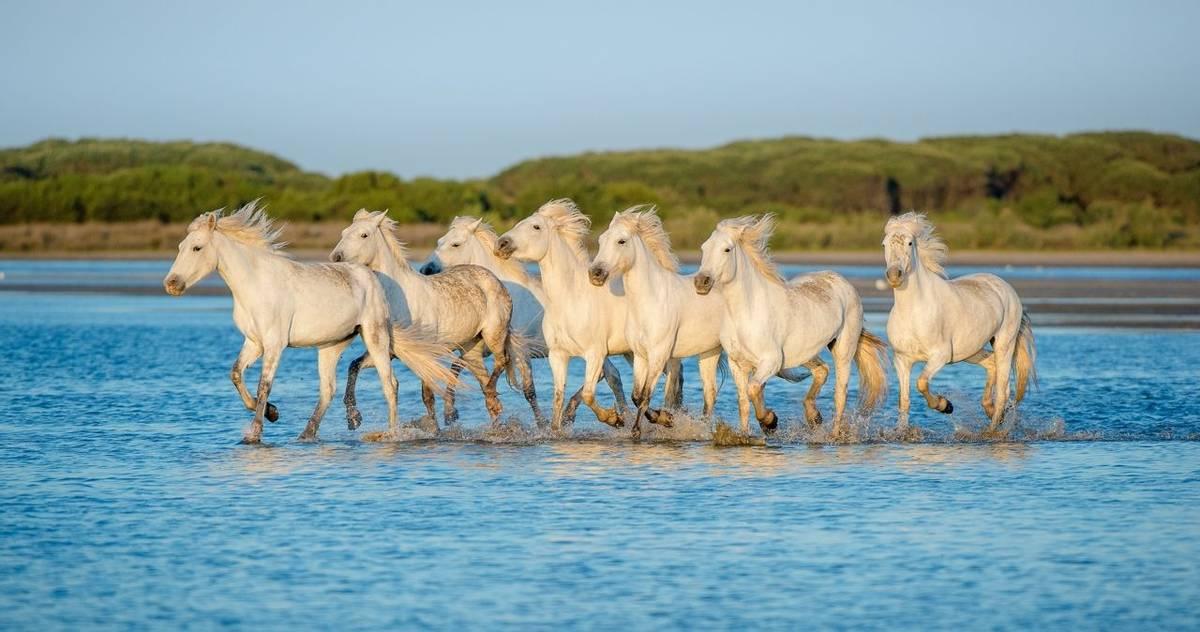 Camargue Wallcreeper Weekend Quarter Page, Camargue Horses