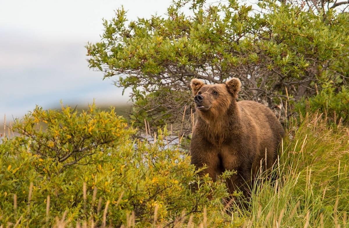 Grizzly Bear Alaska Shutterstock 310138958