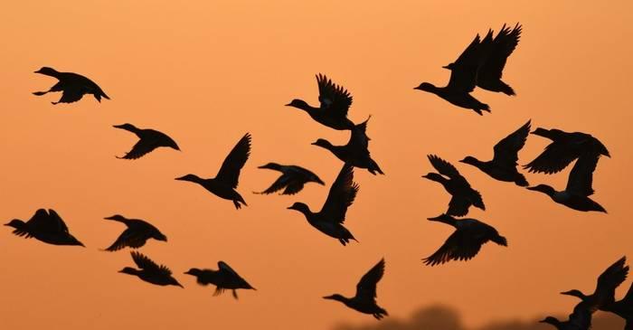 Winter Ducks, Somerset, UK shutterstock_1692152929.jpg