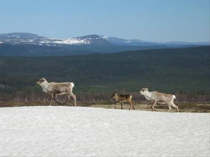 Reindeer (Daniel Green)