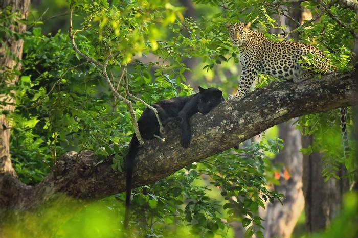 Blackie and mate (Kaustubh Mulay).png