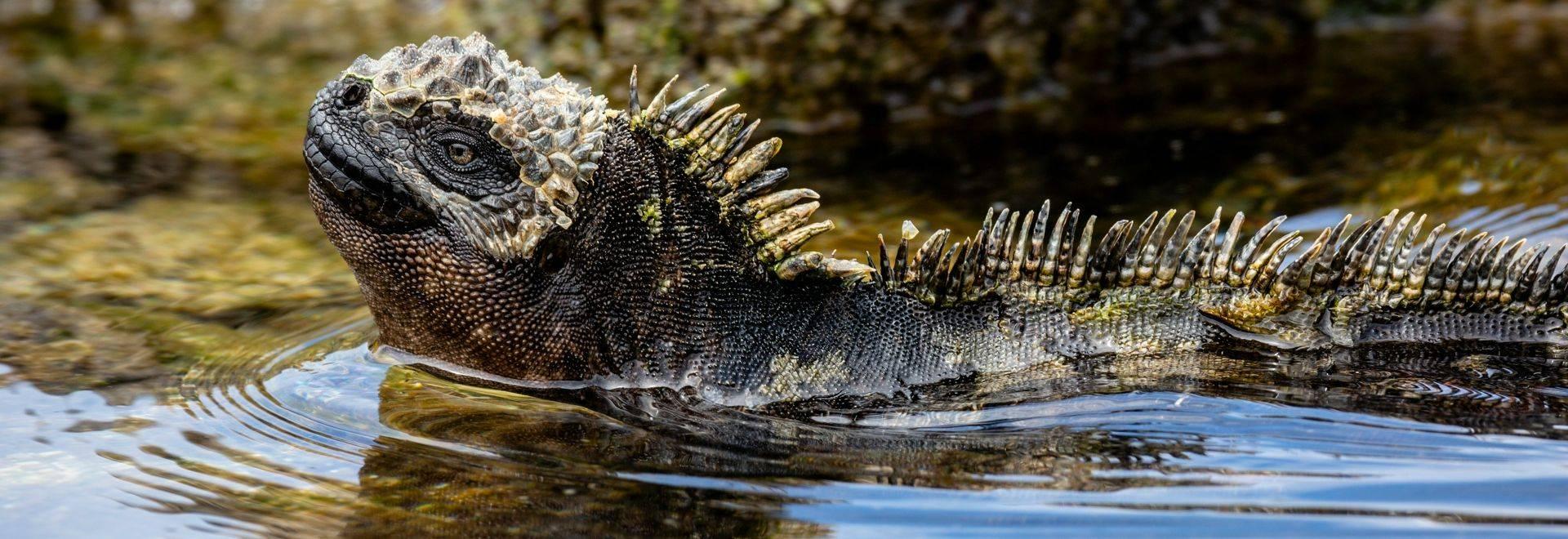 Marine Iguana, Galapagos Shutterstock 1084793072