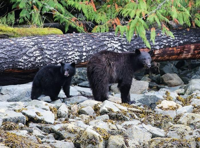 Black Bear and cub (Peter Dunn)