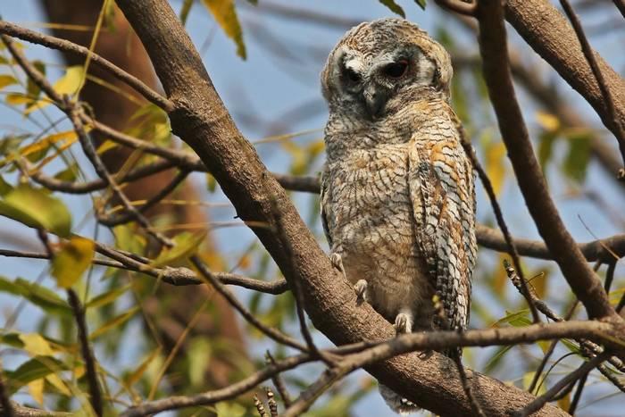 Mottled Wood Owl, India shutterstock_746331352.jpg