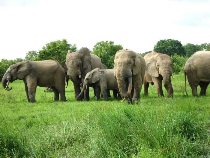African Bush Elephant.JPG