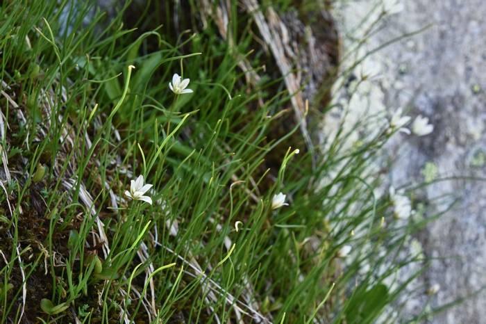 Snowdon Lily (Gagea serotina)