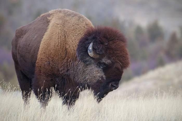 Bison, USA shutterstock_1071072149.jpg