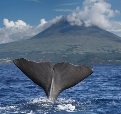 Sperm Whale, Pico
