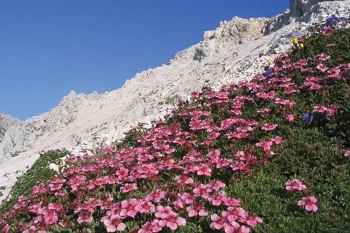 Pink Cinquefoil (Potentilla nitida)
