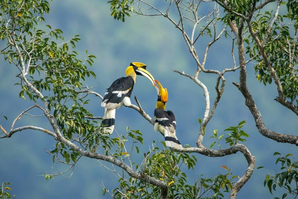Great Hornbills (Edited) Shutterstock 728169106