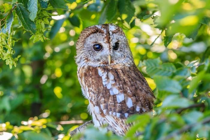 Tawny Owl shutterstock_203573938.jpg