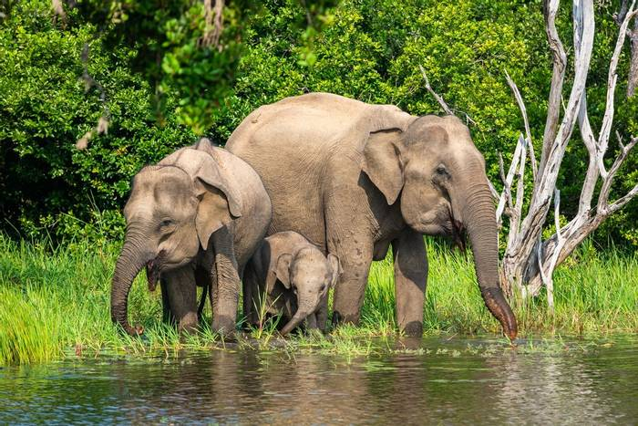 Asian Elephant, Sri Lanka shutterstock_1294866574.jpg