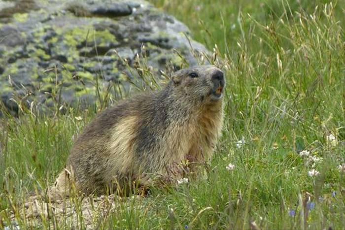 Marmot (John East)