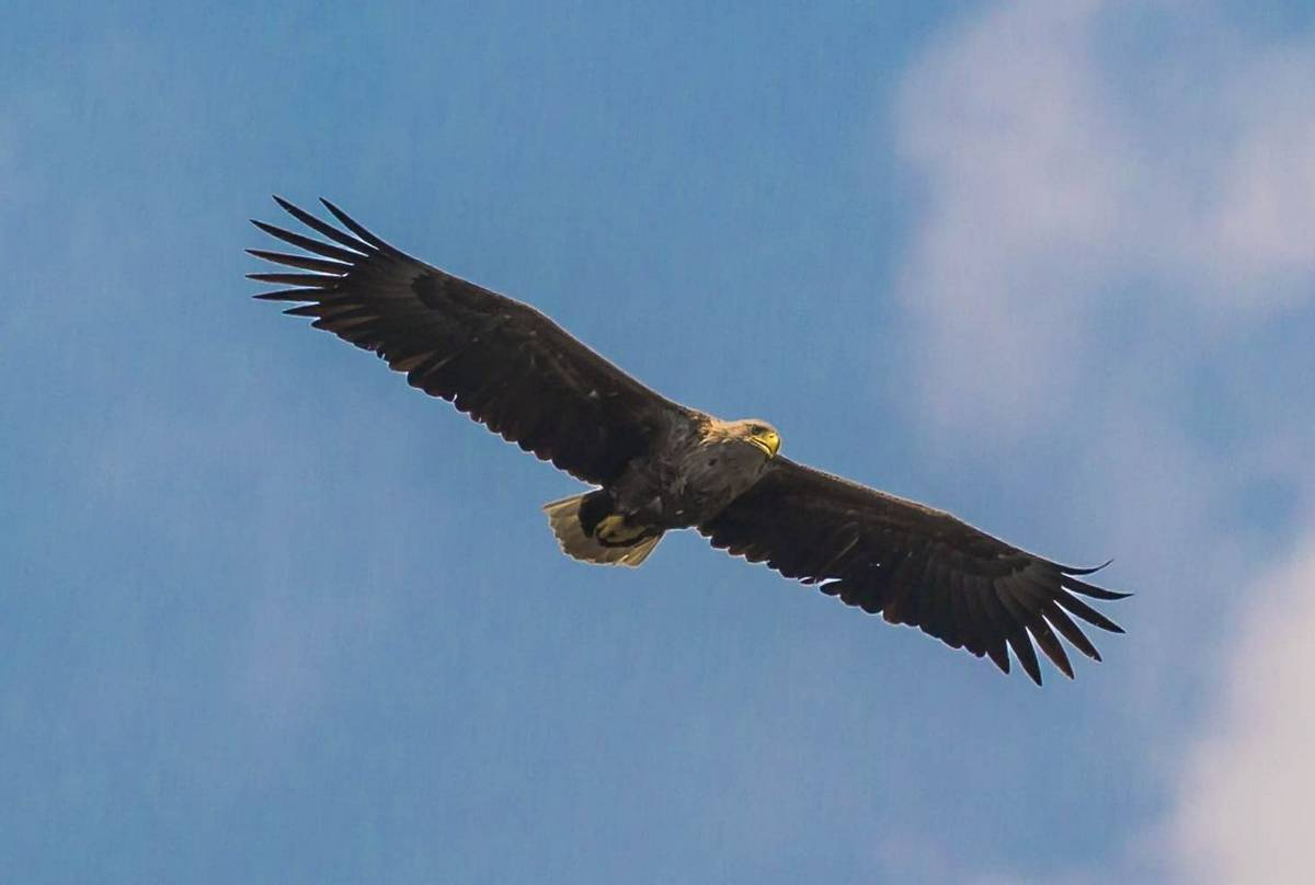 White-Tailed Eagle (Ian Tulloch)