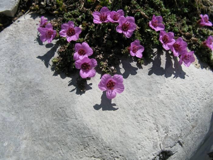 Saxifraga oppositifolia (Steph Warburton)