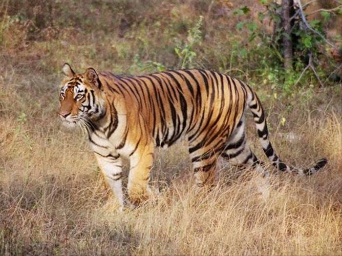 Bengal Tiger (Khalid Pasha)