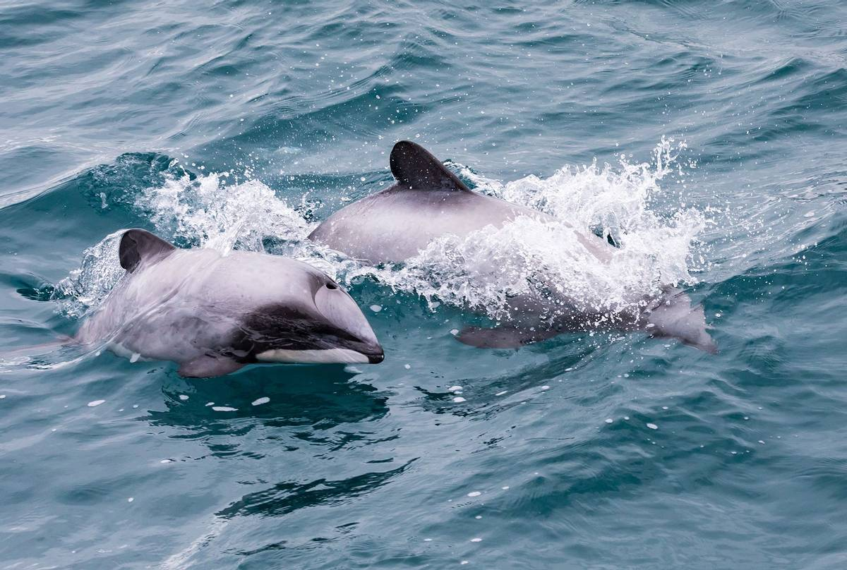 Hector's-Dolphins,-New-Zealand-shutterstock_1032530266.jpg