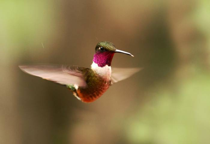 Magenta-throated Woodstar Costa Rica shutterstock_1112684876.jpg
