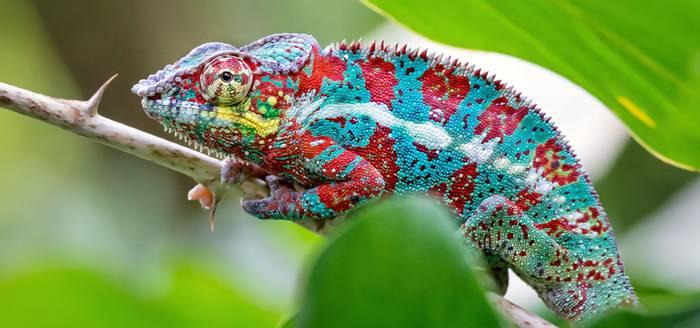Panther Chameleon, Madagascar shutterstock_1192179160.jpg