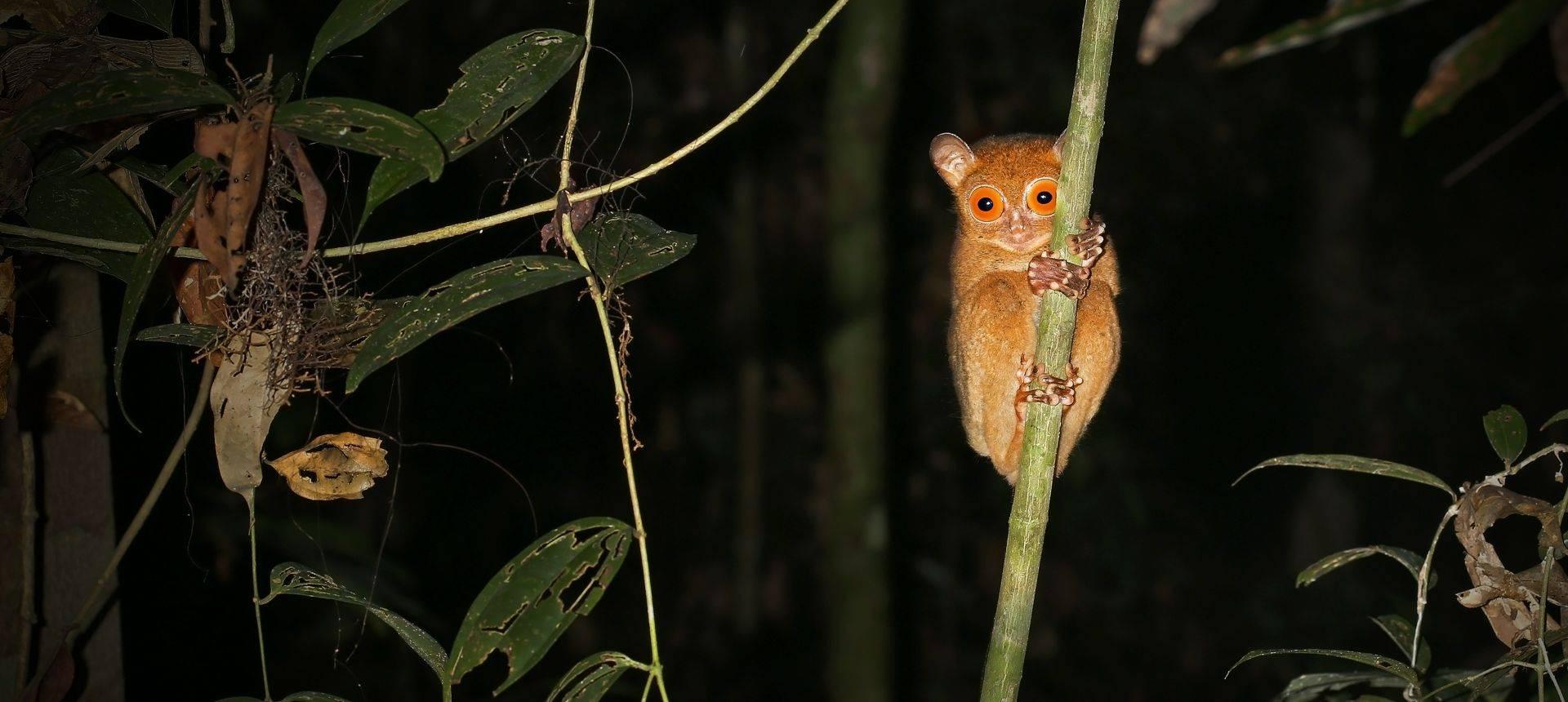 Western Or Horsfield'S Tarsier Borneo Shutterstock 165350882