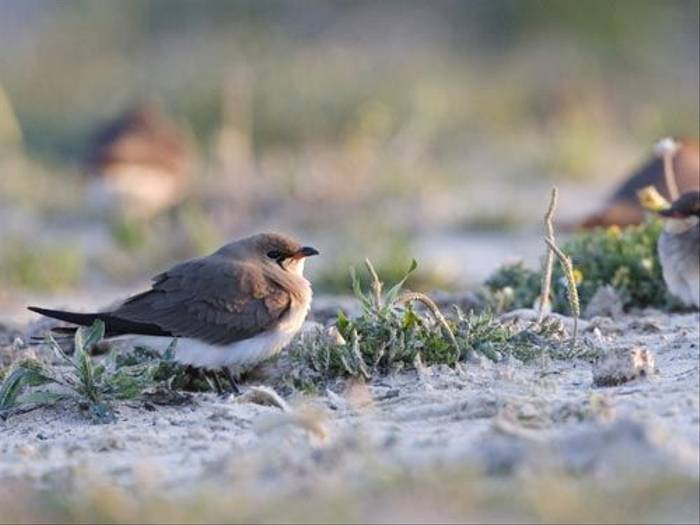 Collared Pratincole (Kevin Elsby)