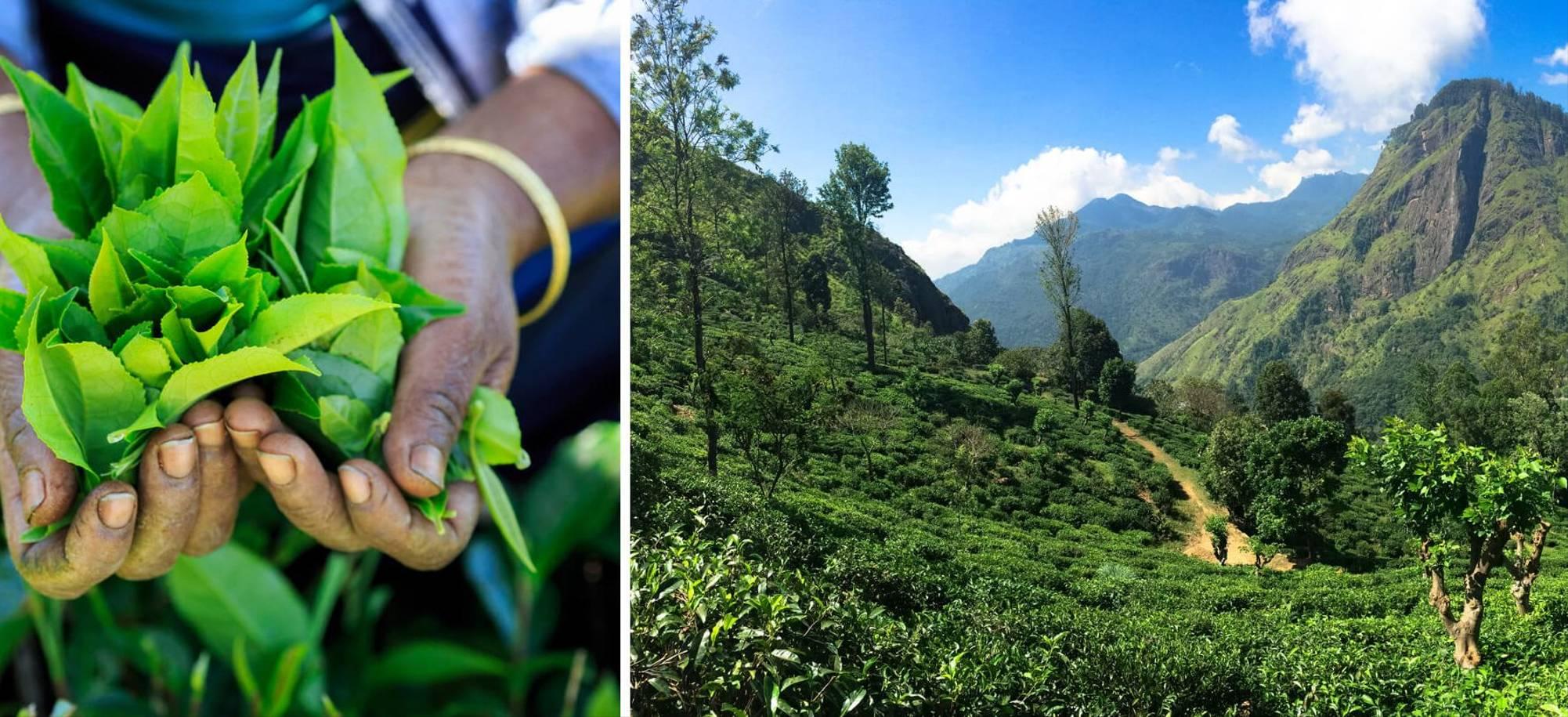 11 day Colombo_Tea plantation - Itinerary Desktop.jpg
