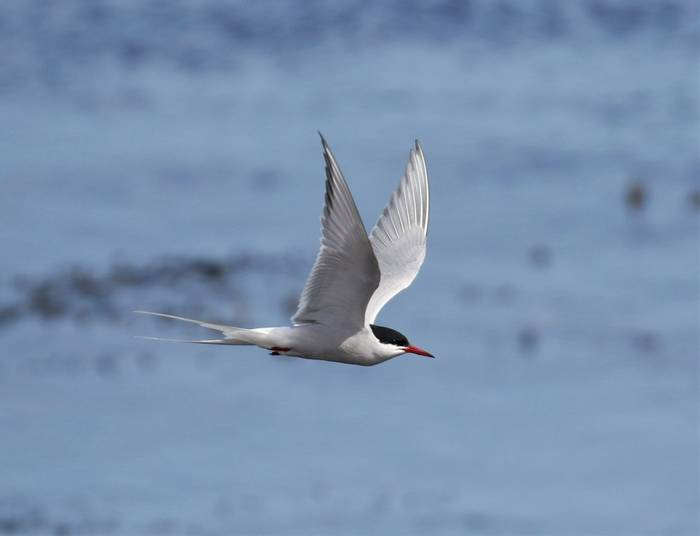 Arctic Tern (Matt Eade).JPG