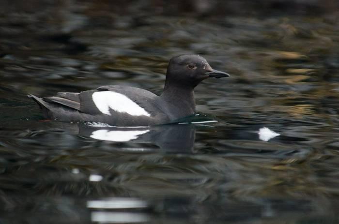 Pigeon Guillemot (Tim Melling).jpg