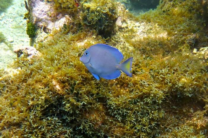 Atlantic Blue Tang (Janice Beck)