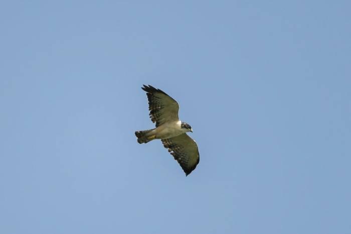Short Tailed Hawk Shutterstock 1133648777